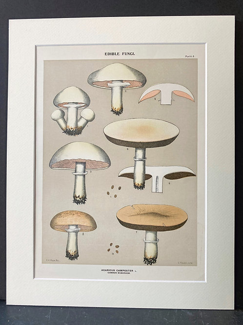 Edible Fungi of New York, 1895-99: Common Mushroom