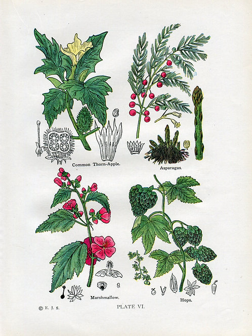 Antique Print of Medicinal and Culinary Herbs, Marshmallow, Asparagus, Thorn App