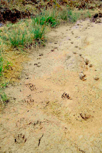 Tracks & scats - Martes Flavigula _ copy