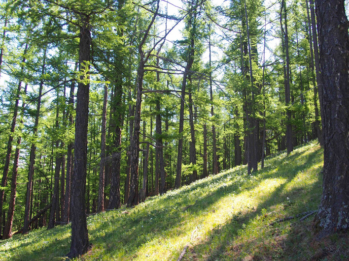 Larch wood near Tsenkher (Arkhangai, Mon
