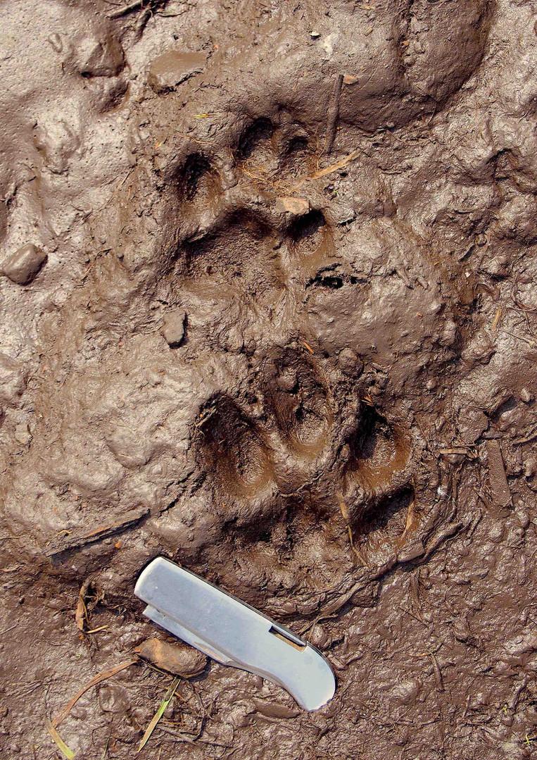 Trace de lynx (aïmag de Töv).jpg