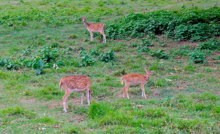 Spotted_deers_of_Teraï.jpg