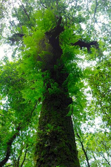 Majestic tree.JPG
