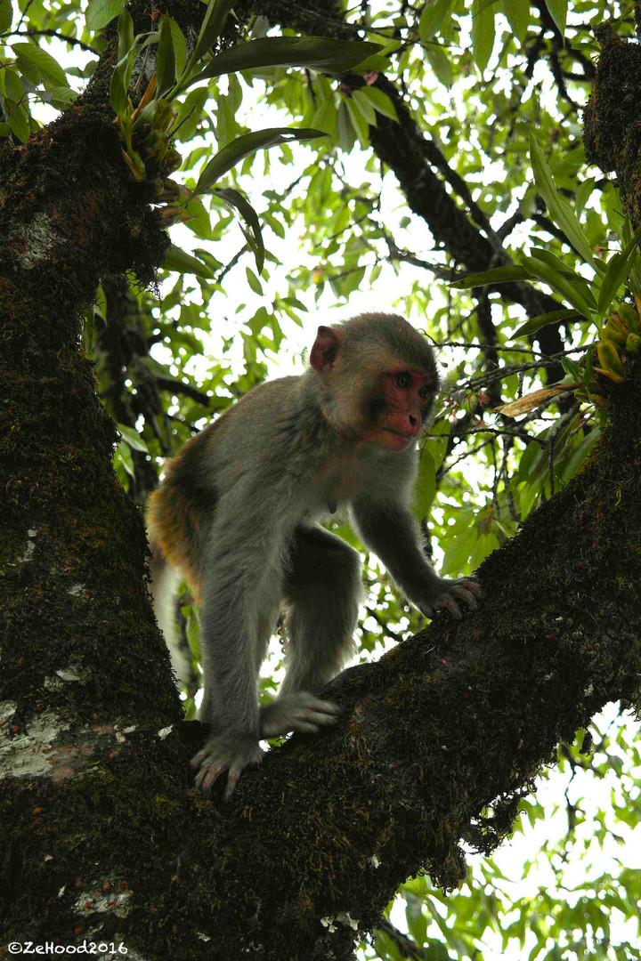 Macaque Rhesus (femelle 9 mois).jpg