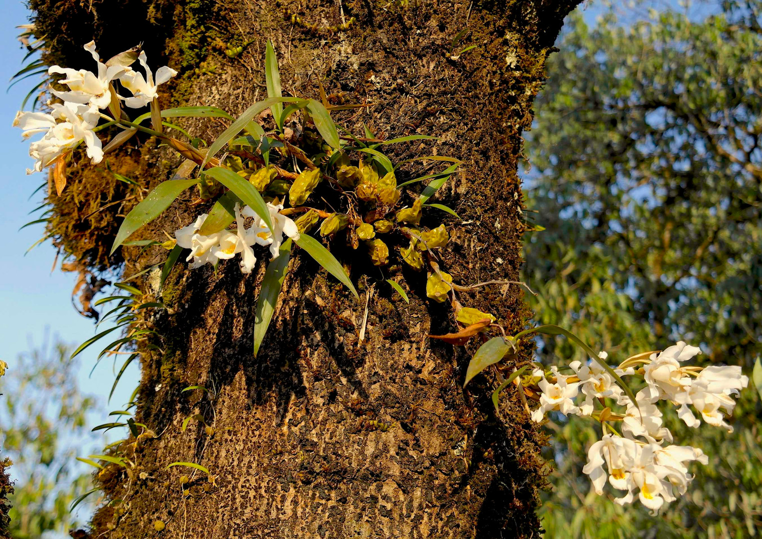 Tree-orchids in autumn.jpg