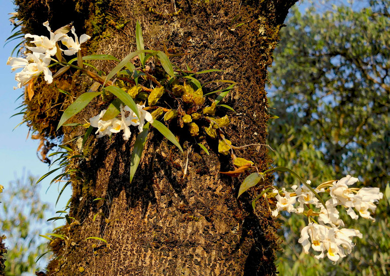 Tree-orchids in autumn.jpg