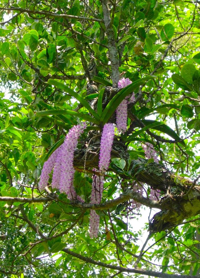 Tree Orchids.jpg
