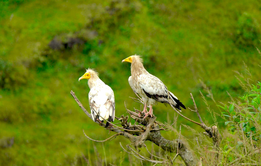 Egyptians vultures - Neophron percnopter