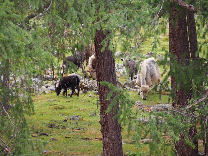 Groupe_de_yacks_à_l'orée_de_la_forêt.jpg