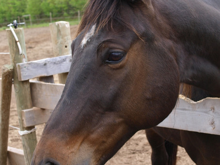 Upper respiratory diseases in horses