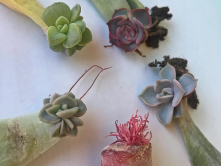 Salvaging Your Stretched Succulents