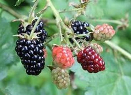 Growing Blackberries in West Texas