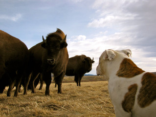 Fourth Generation Colorado Farmer Transitions To Bison Ranching