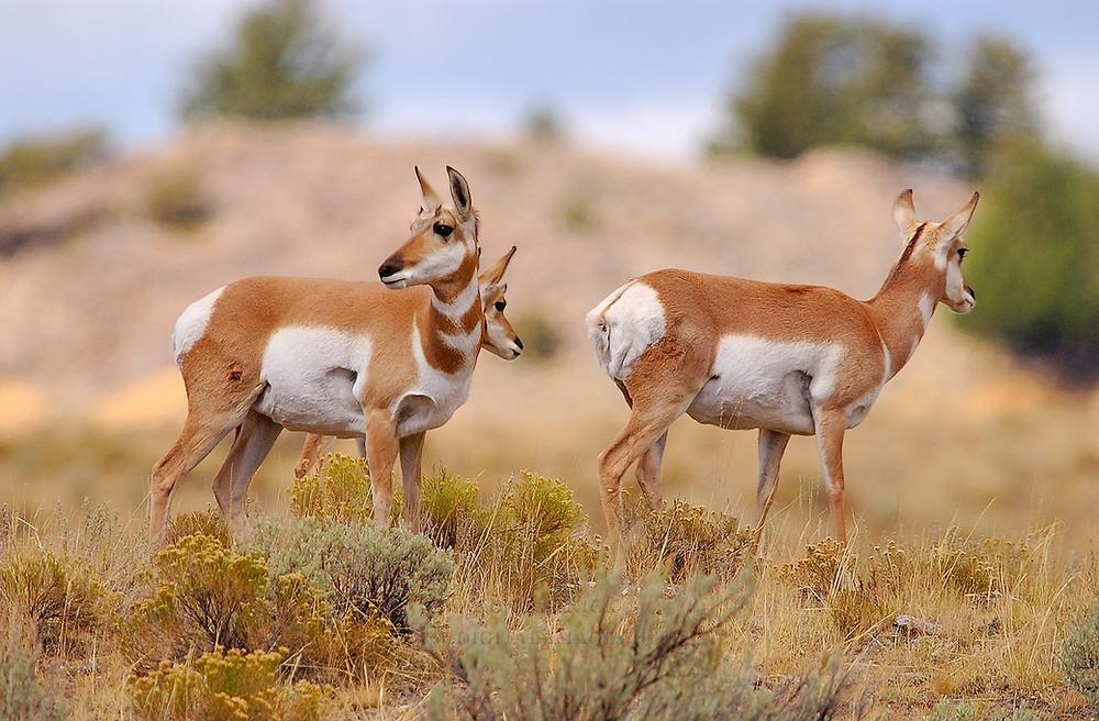 Stock Image of Antelope