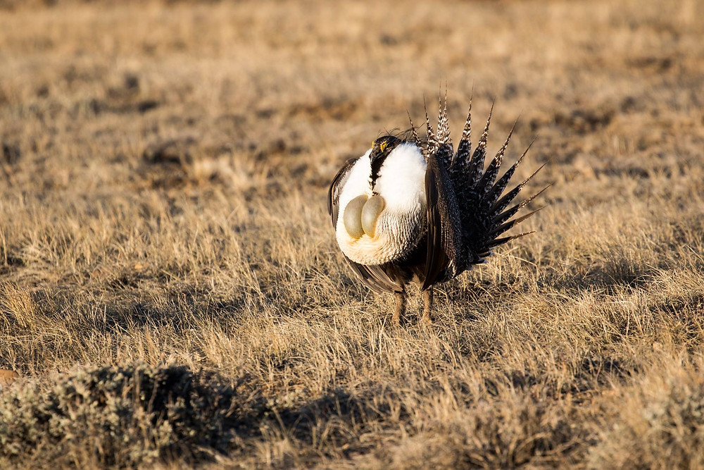 Greater Sage Grouse, Dale R Petefish