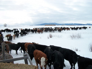 Local Cattleman Gather This Weekend