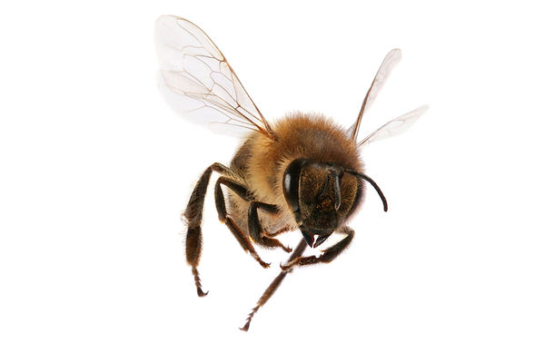 Honey bee fying on white background