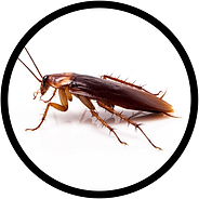 American cockroach on white background