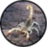 Desert hairy scorpion in desert