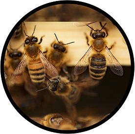 Honey bees going in wood crate