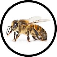 Sitting honey bee on white background