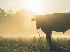 Audio: Tonight I Dumped My Bull For You