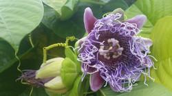 Grenadine Bloom Flower