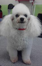 Angel -Ola Puppy Dog grooming Pitt Meadows Maple Ridge Port Coquitlam