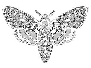 Drawing of Death's head moth