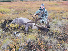 Getting our hands on our first bull caribou we couldnt be more thrilled with the outcome!
