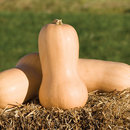 Courge Butternut - Waltham