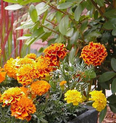 Brocade - Marigold