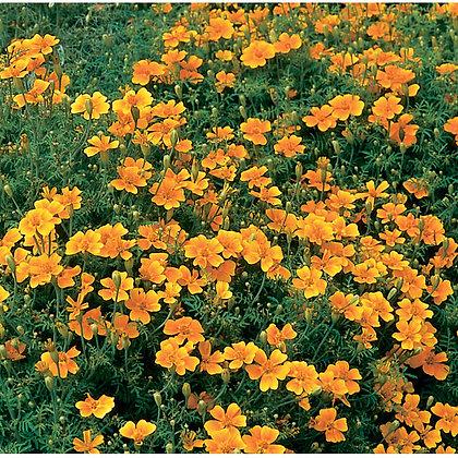 Tangerine Gem - Marigold