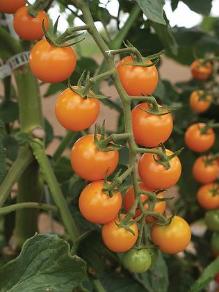 Tomate - Sun Sugar