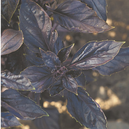 Basilic pourpre - Red Rubin