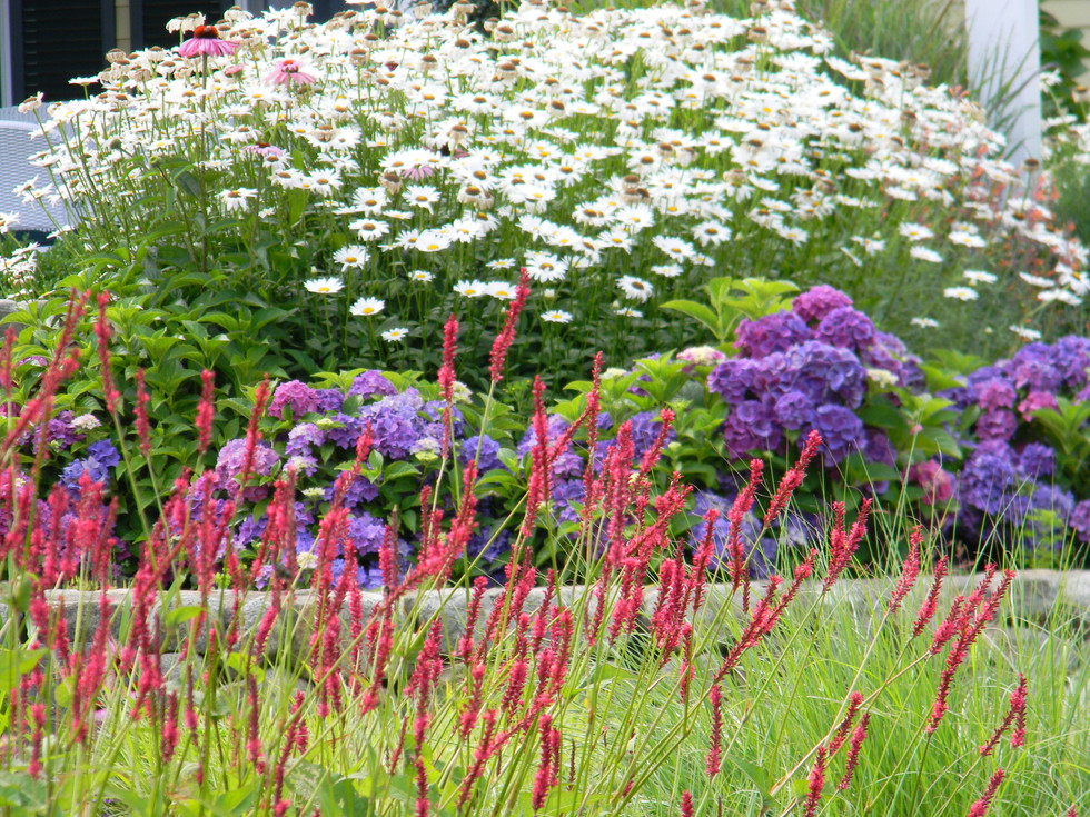 Persicaria 'Firetail' takes center stage in this East Dennis garden