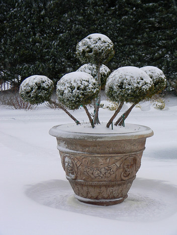 """I called it """"Medusa"""" but it's actually a tightly pruned juniper"""