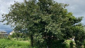 樹木伐採2
