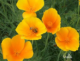 California Poppy Wildflower Seed