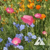 Dry Site Wildflower Seed