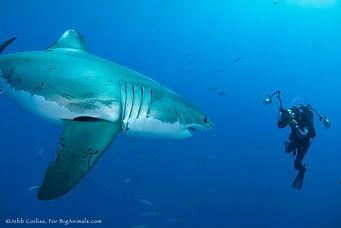 POHL - shark.jpg