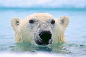 POHL - polar bear.jpg