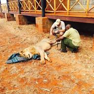 Shazaad assisting KWS vets