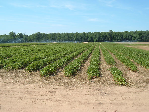 berry field 13.JPG