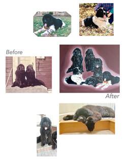 Custom Pet Portrait for Newfies