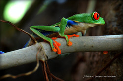Red Eyed Tree Frog 6206