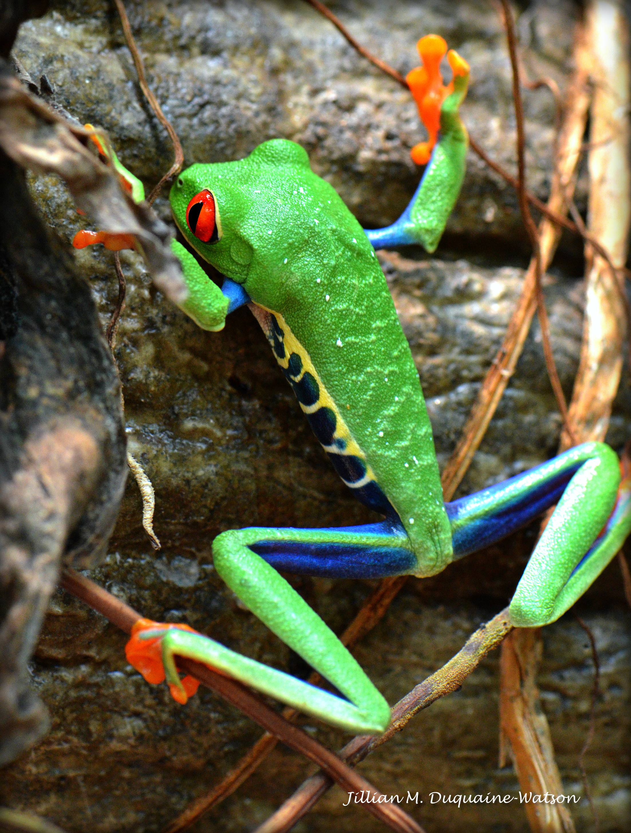 Red Eyed Tree Frog 6252