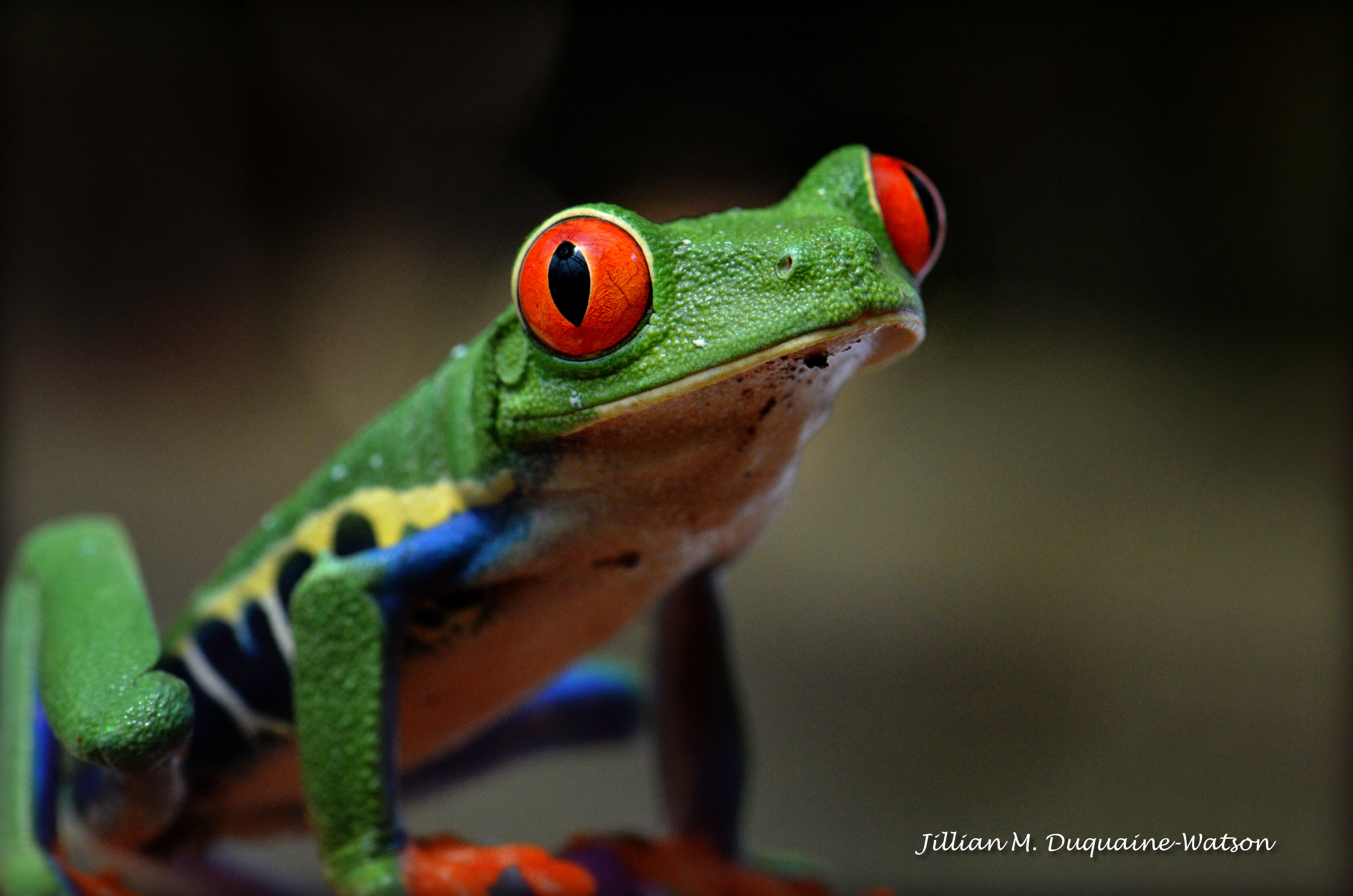Red Eyed Tree Frog 6261