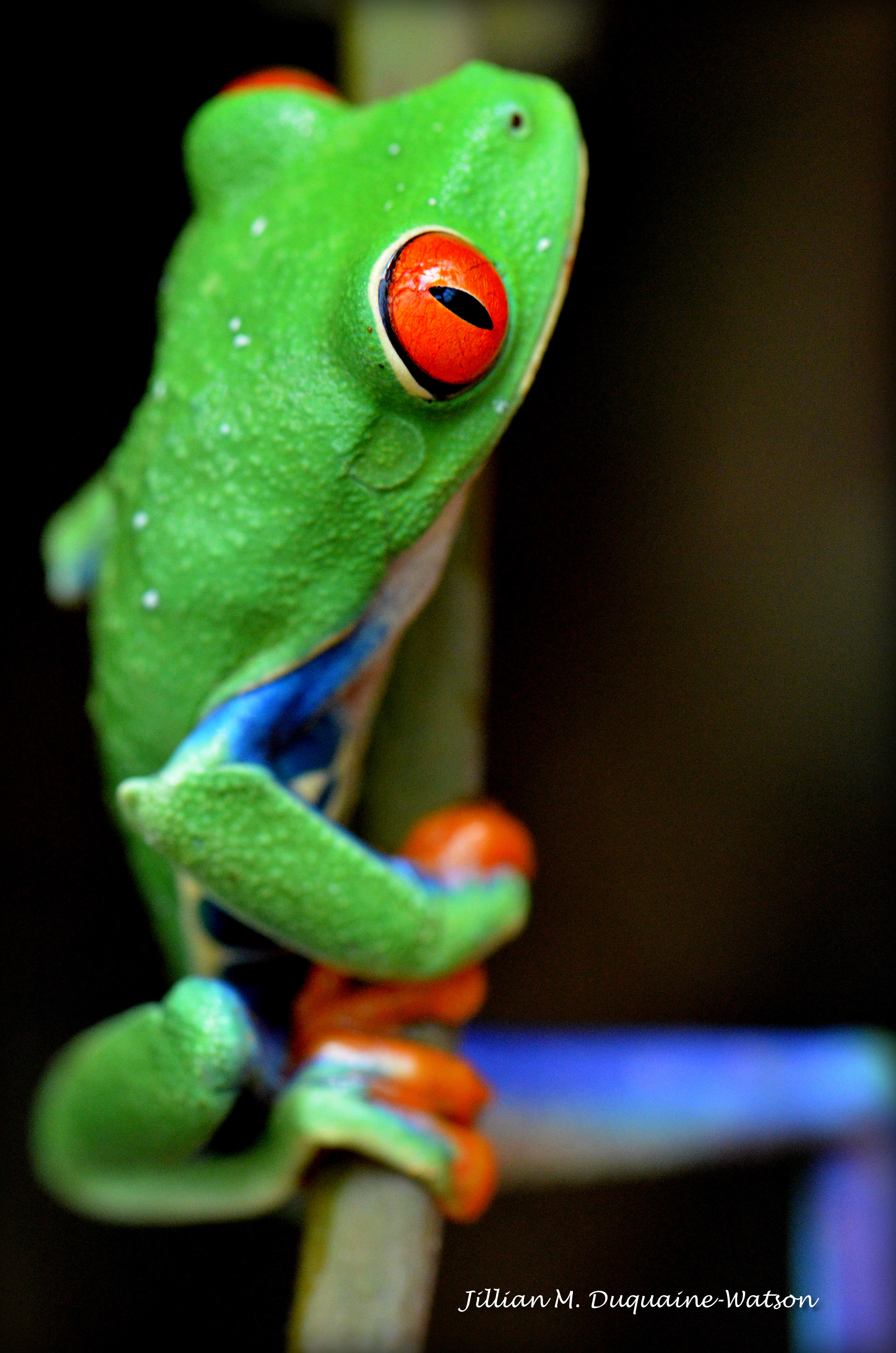 Red Eyed tree Frog 6198