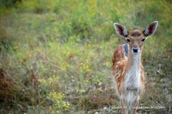 fallow deer fawn 4